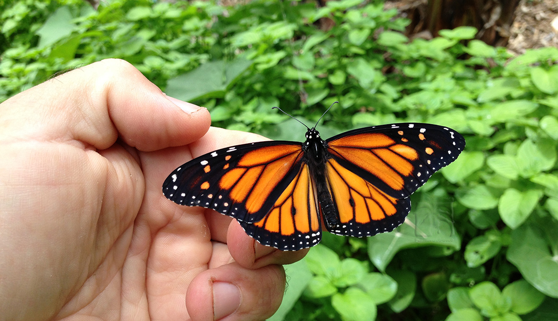 La Cra de La Mariposa Monarca  Pltano Lgico Ecofinca de