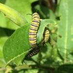Gusanos de mariposa