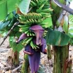 flor del plátano