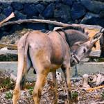Pancho - el burro