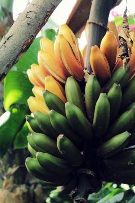 Bosque comestible platano logico la palma_400